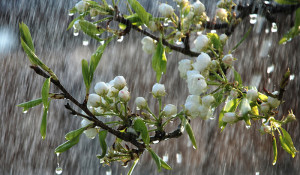 Beautiful-rainy-spring-day-trees-in-bloom_1366x768-300x175